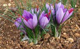انواع عصاره زعفران یاسوج
