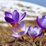 پرفروش ترین عصاره زعفران