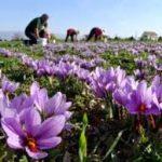عصاره زعفران در ایران