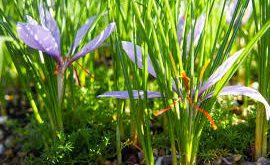 خرید انواع عصاره گیاه زعفران مرغوب
