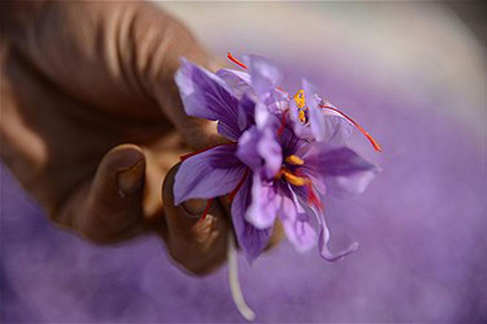 بهترین گل زعفران