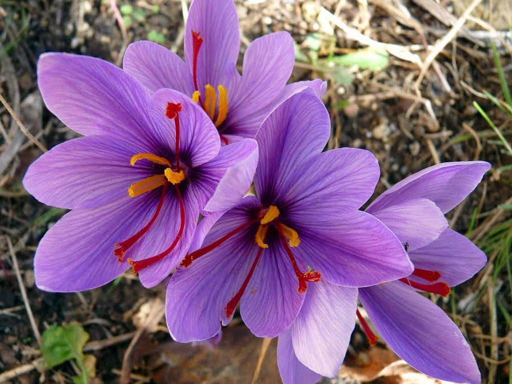 گل زعفران و برداشت آن