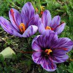 پودر زعفران معراج