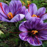 صادرات اسپرى زعفران