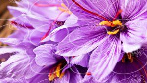 بزرگترین سایت زعفران توکلی در کشور