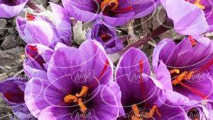 فروش اسپری زعفران سحرخیز با وزن خالص ۱۰۰ گرم