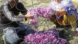 حاشیه سود خوب عصاره زعفران در مشهد