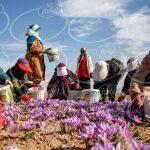 صادرات زعفران به دبی با حاشیه سود بالا